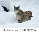 eurasian lynx  lynx lynx ...   Shutterstock . vector #1042208206