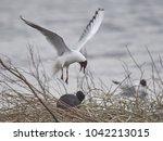 black headed gull | Shutterstock . vector #1042213015