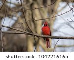 northern male cardinal on a... | Shutterstock . vector #1042216165