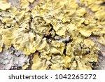 The Yellow Lichen Close Up...