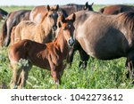 horse foal on pasture. a herd... | Shutterstock . vector #1042273612