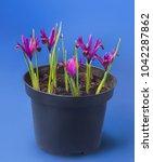 blossoming iridodictyum... | Shutterstock . vector #1042287862