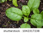 Spinach Growing From Composted...
