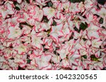 azalea bloom flowers background.... | Shutterstock . vector #1042320565