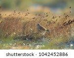 common kestrel  falco...   Shutterstock . vector #1042452886