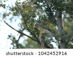 common kestrel  falco...   Shutterstock . vector #1042452916