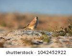 common kestrel  falco...   Shutterstock . vector #1042452922