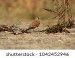 common kestrel  falco...   Shutterstock . vector #1042452946