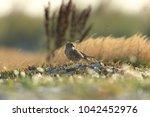 common kestrel  falco...   Shutterstock . vector #1042452976