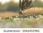 common kestrel  falco...   Shutterstock . vector #1042452982