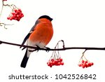 red breasted handsome bullfinch ... | Shutterstock . vector #1042526842