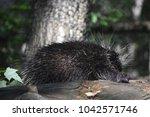 cute wild porcupine climbing a... | Shutterstock . vector #1042571746
