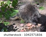 adorable wild porcupine wlaking ... | Shutterstock . vector #1042571836