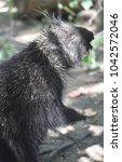 adorable black porcupine... | Shutterstock . vector #1042572046