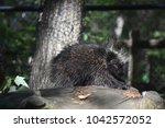 cute porcupine clawing into a... | Shutterstock . vector #1042572052