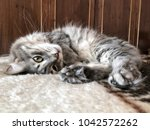 Stock photo a gray cat lying on bed at home 1042572262