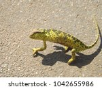 Small photo of African Chameleon on the road
