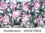 snow covered lettuce at the...   Shutterstock . vector #1042672822