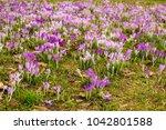 crocus  plural crocuses or...   Shutterstock . vector #1042801588