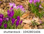 crocus  plural crocuses or... | Shutterstock . vector #1042801606