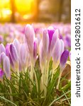 crocus  plural crocuses or... | Shutterstock . vector #1042801612