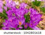 crocus  plural crocuses or...   Shutterstock . vector #1042801618