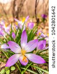 crocus  plural crocuses or... | Shutterstock . vector #1042801642