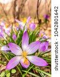 crocus  plural crocuses or...   Shutterstock . vector #1042801642