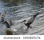 Small photo of aggressive pelican scares off two other pelicans in the water