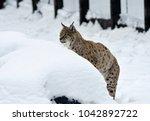 eurasian lynx  lynx lynx ...   Shutterstock . vector #1042892722