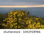 Gorse Bush With Coastal Sunset...