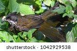 Small photo of Eastern Whipbird Australia