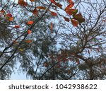 terminalia catappa leaves or...   Shutterstock . vector #1042938622