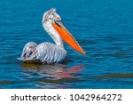 The dalmatian pelican ...