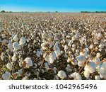 ripe cotton field. autumn... | Shutterstock . vector #1042965496