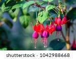 Fuchsia Hybrids  Fuchsia  Lady...