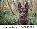 german shepherd dog in sunny... | Shutterstock . vector #1043015386