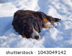bernese mountain dog in winter | Shutterstock . vector #1043049142