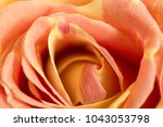 Natural Background Of Rose...