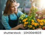 closeup photo of sunny mimosas... | Shutterstock . vector #1043064835