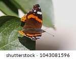 Painted Lady Butterfly In...