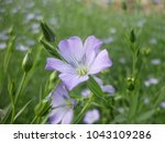 Small photo of Very Beautiful Pics of SAMLL, TINY, LIGHT VIOLET FLOWER. ALL PICS HAVING DIIFERTENT ANGLES EASY TO CLASSIFY MOST BEAUTIFUL FROM THIS PIC A DIGITAL PIC WITH ALL DETAILS OF CLEARITY EASY TO OBSERVE .