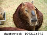 Small photo of Capybara it's the largest rodent in the world. Its scientific name is Hydrochaeris hydrochaeris a member of the genus Hydrochoerus and has members who are in the same currency that remains is Hydrocho