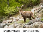 Small photo of Alpine ibex (Capra ibex) alpine environment, spring, Maritime Alps. Old male standing on the roks, moulting period.