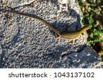 small lizard resting on a rock. | Shutterstock . vector #1043137102