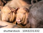 group of hog waiting feed. pig... | Shutterstock . vector #1043231332