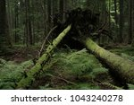 Small photo of Upturn trees,Tara mauntain,Serbia