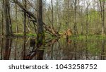 A Spring Forest Swamp With Bar...