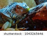 Closeup Of A Green Iguana...