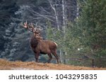 great adult noble red deer with ... | Shutterstock . vector #1043295835